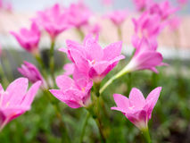 Красивейшие розовые цветки Стоковое Фото