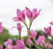 Красивейшие розовые цветки Стоковое фото RF