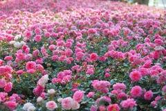красивейшие розы пинка bush Стоковые Фотографии RF