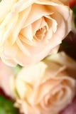 красивейшие розы Стоковая Фотография