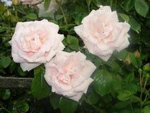 красивейшие розы стоковое изображение rf
