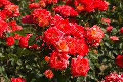 красивейшие розы bush стоковые фотографии rf