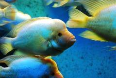 красивейшие рыбы Стоковая Фотография