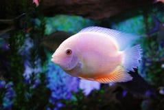 красивейшие рыбы Стоковая Фотография RF