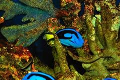 красивейшие рыбы Стоковое Изображение