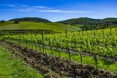 красивейшие рядки жать виноградин Земля виноградника весной стоковая фотография rf