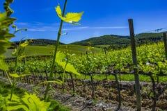 красивейшие рядки жать виноградин Земля виноградника весной стоковое фото