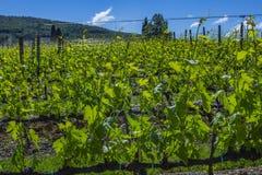 красивейшие рядки жать виноградин Земля виноградника весной стоковые фото