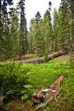 красивейшие секвойи секвойи национального парка Стоковая Фотография