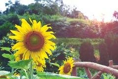 красивейшие солнцецветы Стоковое Изображение RF