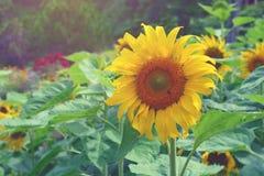 красивейшие солнцецветы Стоковая Фотография