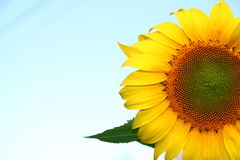 красивейшие солнцецветы Стоковое фото RF