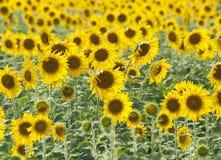 красивейшие солнцецветы стоковое изображение