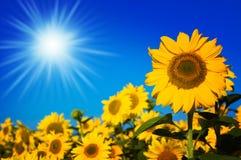 красивейшие солнцецветы Стоковая Фотография RF