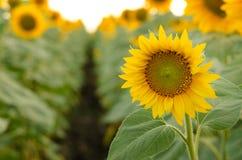 красивейшие солнцецветы поля Стоковое Изображение