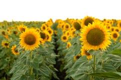 красивейшие солнцецветы поля Стоковые Фото