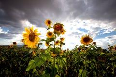 красивейшие солнцецветы Стоковые Фото