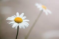 красивейшие стоцветы 2 Стоковые Изображения RF