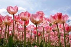 красивейшие тюльпаны весны Стоковые Фотографии RF