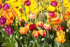 красивейшие тюльпаны парка против детенышей весны цветка принципиальной схемы предпосылки белых желтых Стоковое Фото