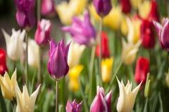 красивейшие тюльпаны парка против детенышей весны цветка принципиальной схемы предпосылки белых желтых Стоковые Изображения RF