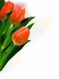 красивейшие тюльпаны пука Стоковое фото RF