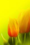 красивейшие тюльпаны Стоковое Фото