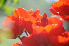 Красивейшие тюльпаны field весной время с лучами солнца Стоковые Изображения RF