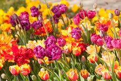 красивейшие тюльпаны парка против детенышей весны цветка принципиальной схемы предпосылки белых желтых Стоковые Фотографии RF
