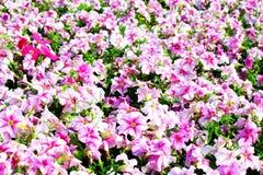 Красивейшие цветастые петуньи на поле цветка Стоковая Фотография