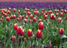 красивейшие цветастые тюльпаны поля Стоковая Фотография