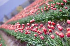 красивейшие цветастые тюльпаны поля Стоковые Изображения