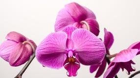 Цветения орхидеи Стоковые Фотографии RF