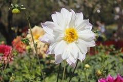 красивейшие цветки белые Стоковая Фотография