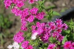 красивейшие цветки белые стоковая фотография rf