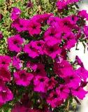 красивейшие цветки лиловые Стоковое Изображение RF