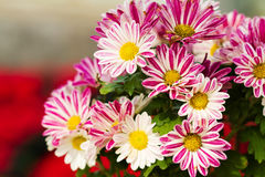 красивейшие цветки маргаритки Стоковые Изображения RF