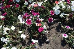 Красивейшие цветки петуньи изображение энергии принципиальной схемы предпосылки стоковые изображения rf