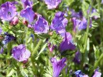 красивейшие цветки пурпуровые Стоковое Изображение RF