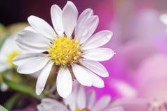 Красивейшие цветки стоцвета Стоковое Изображение
