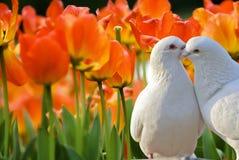 Красивейшие цветки тюльпана в саде Стоковая Фотография