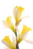 красивейшие daffodils Стоковое фото RF