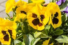 красивейшие pansies Стоковое Изображение RF