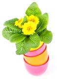 красивейшие primulas цветков Стоковое Фото