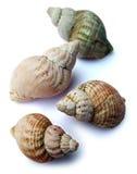 красивейшие seashells Стоковое Изображение RF