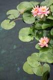 красивейшие waterlilies Стоковые Изображения