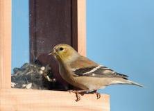 Красивейший американский Goldfinch в его plumage зимы Стоковое Изображение RF