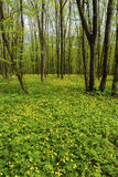 Красивейший ландшафт пущи весны Стоковые Изображения RF