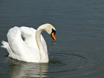 красивейший безгласный лебедь Стоковые Фотографии RF