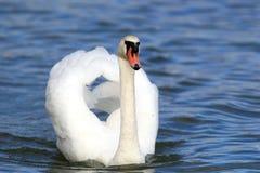 красивейший безгласный лебедь Стоковая Фотография RF